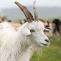 tretford Kaschmir-Ziege