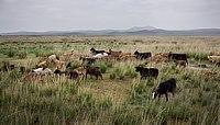 Landschaft mit Ziegenherde